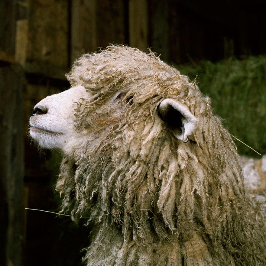 farm-animal-portraits-rob-macinnis-3