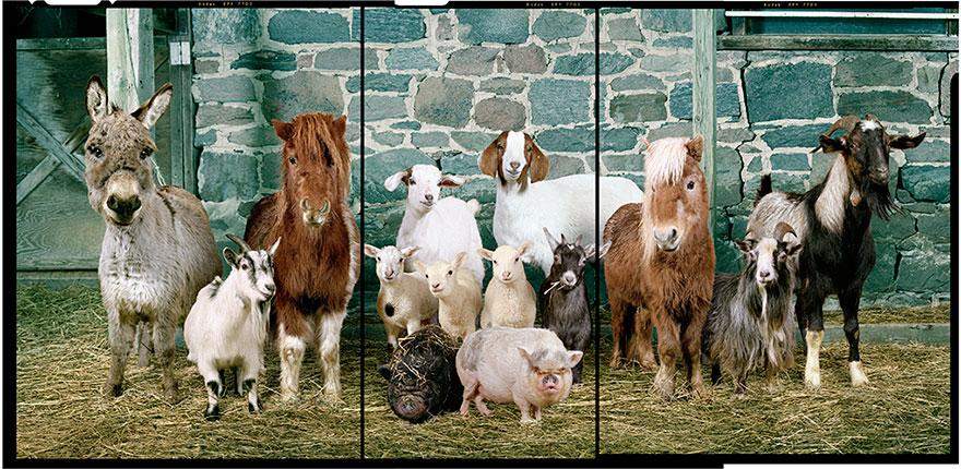 farm-animal-portraits-rob-macinnis-35