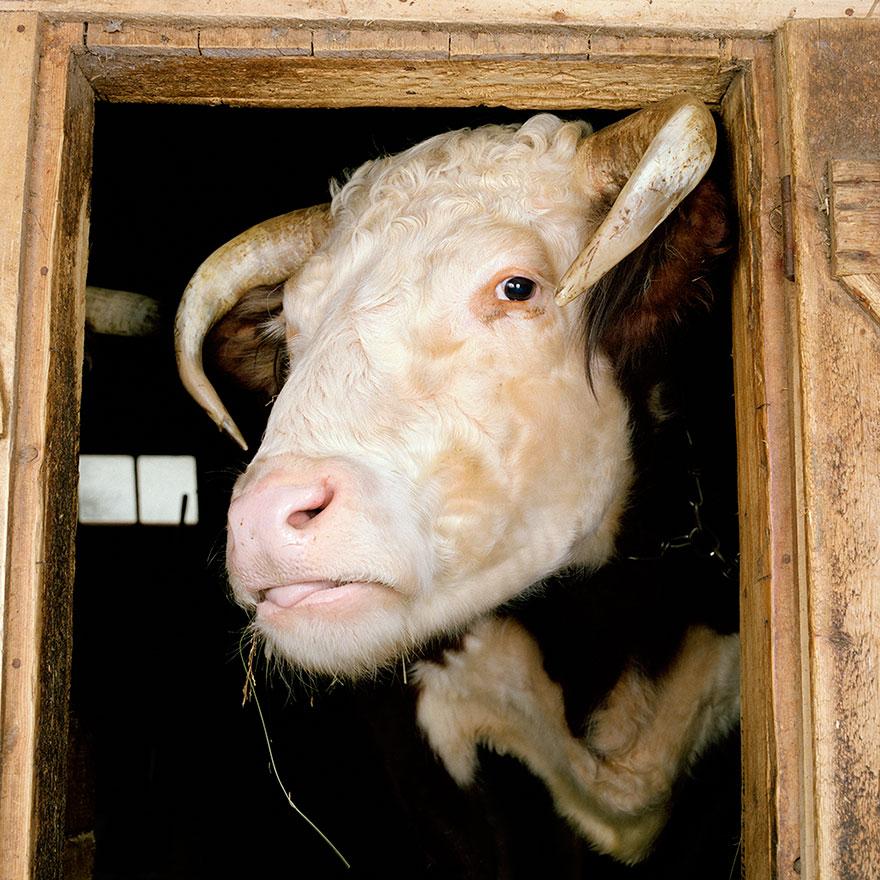farm-animal-portraits-rob-macinnis-5