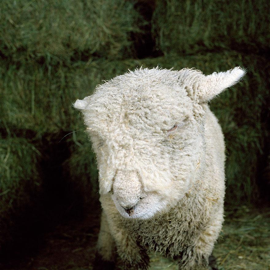 farm-animal-portraits-rob-macinnis-8