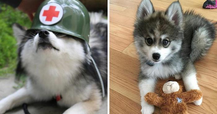 meet norman a husky pomeranian puppy that s so cute it