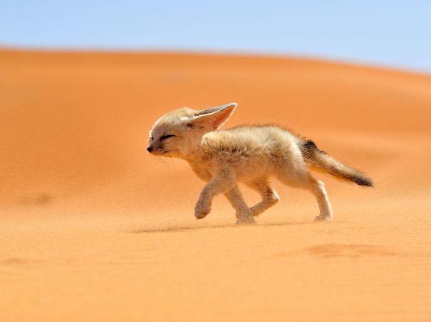 fennec-fox-morocco_68263_990x742.jpg