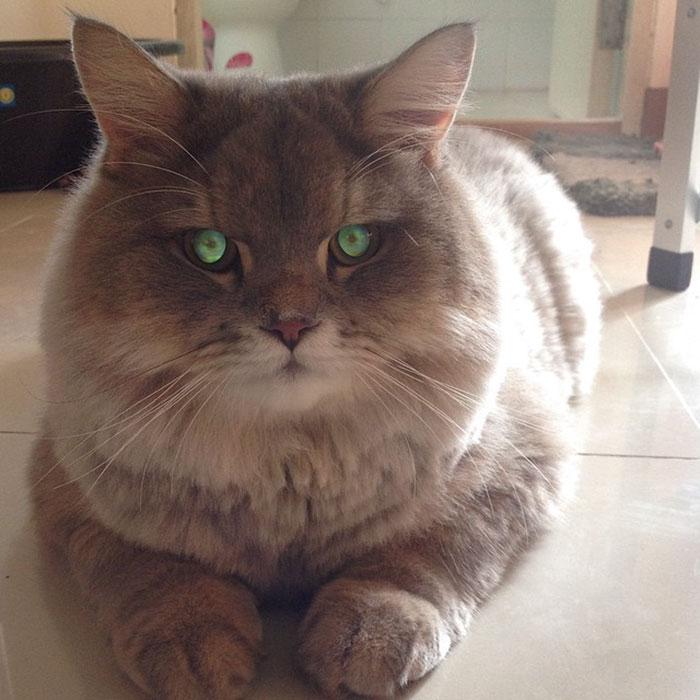 Meet Bone Bone The Enormous Fluffy Cat From Thailand That