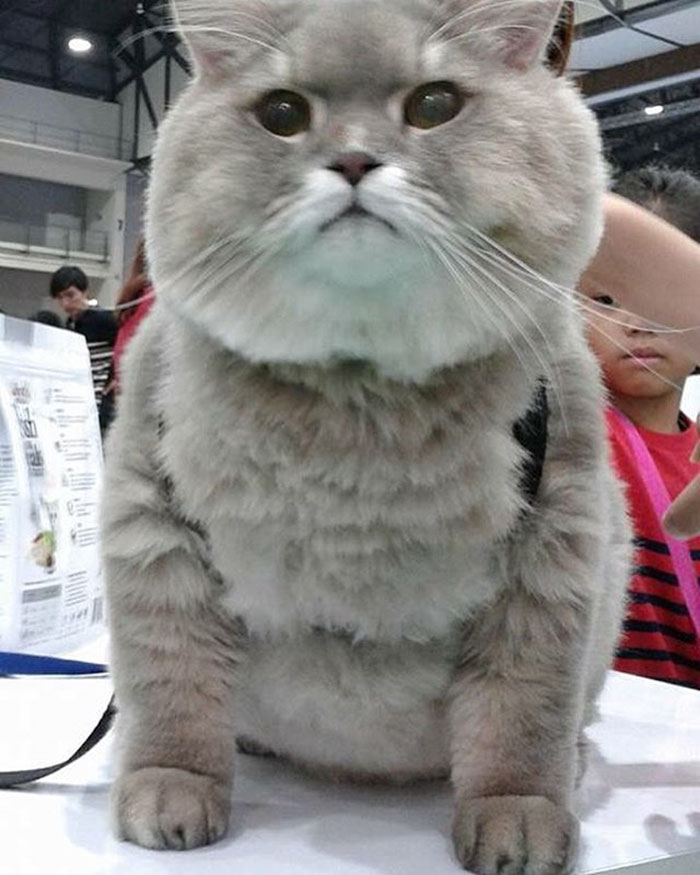 Meet Bone Bone The Enormous Fluffy Cat From Thailand That - 25 of the fluffiest cats ever