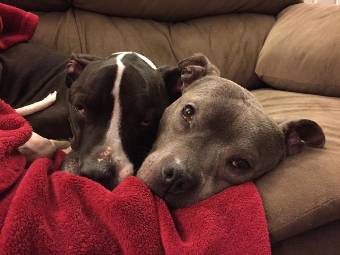 Watch Out! These Two Vicious Pitties Are About To Attack!... After Their Nap.