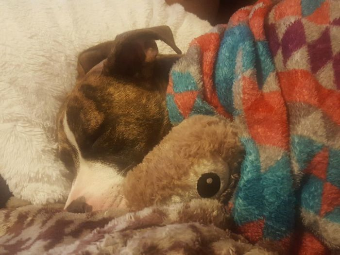 This Is My Vicious Pitbull. He Takes His Owl Stuffed Animal To Bed And We Tuck Him In