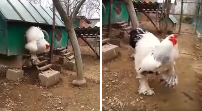 People Can't Believe How GIANT This Chicken Is