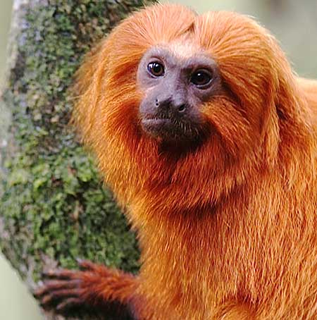 golden-lion-tamarin.jpg