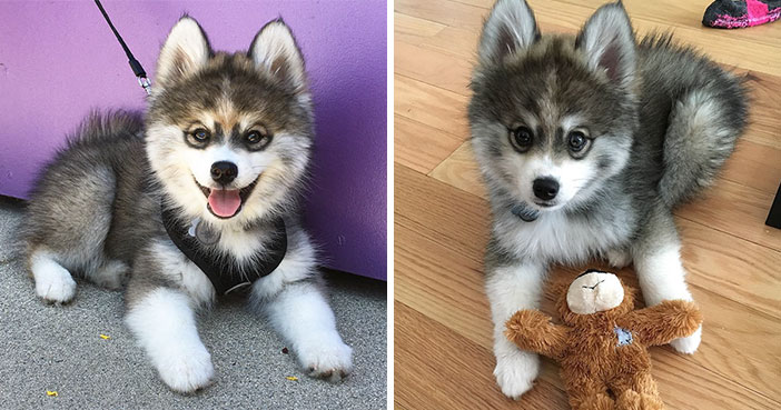 Meet Norman, A Husky-Pomeranian Puppy That's So Cute It Doesn't Even Look Real