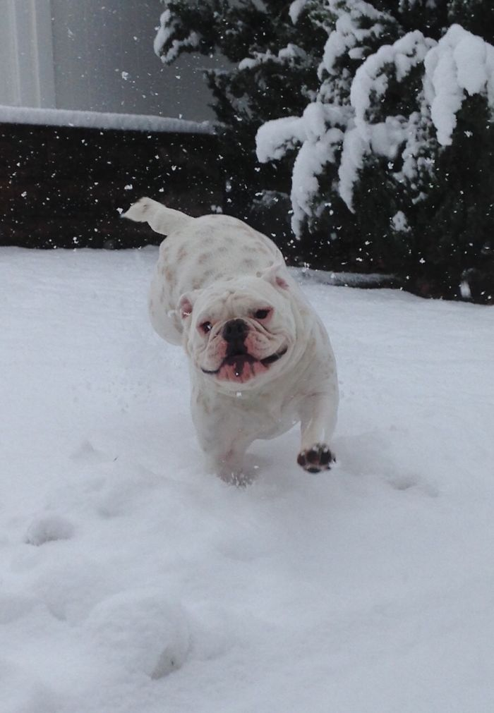 Pig's First Time In Snow!