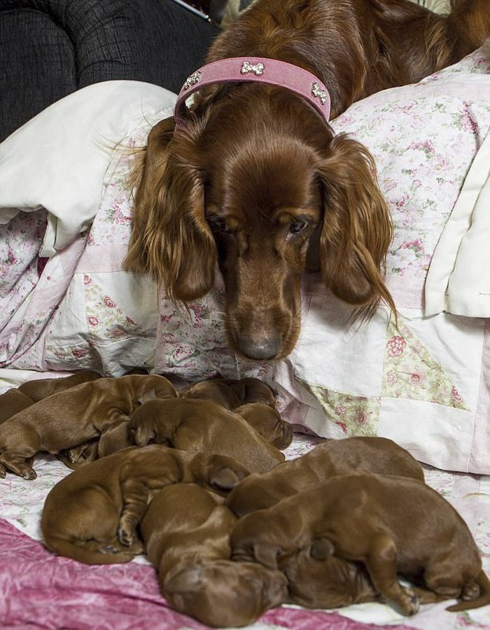 irish-setter-gives-birth-15-puppies-mother-day-poppy-1