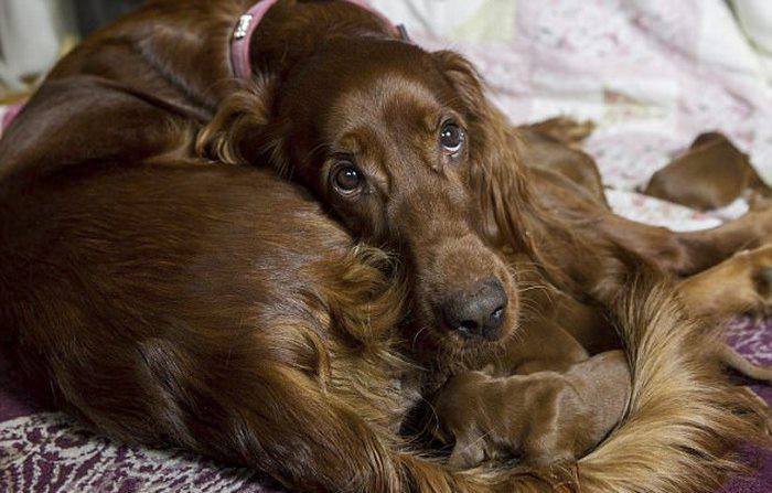 irish-setter-gives-birth-15-puppies-mother-day-poppy-2