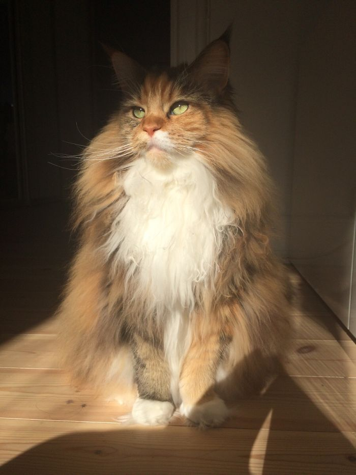 This Maine Coon Is So Fluffy You're Gonna Die