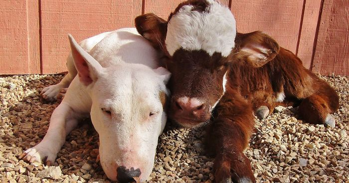 Pet Rescue Cattle Dog