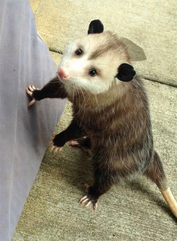 _orphaned-opossum-refuses-release-opie-10-2