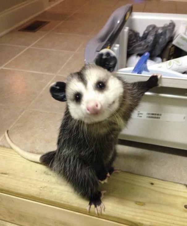 orphaned-opossum-refuses-release-opie-17