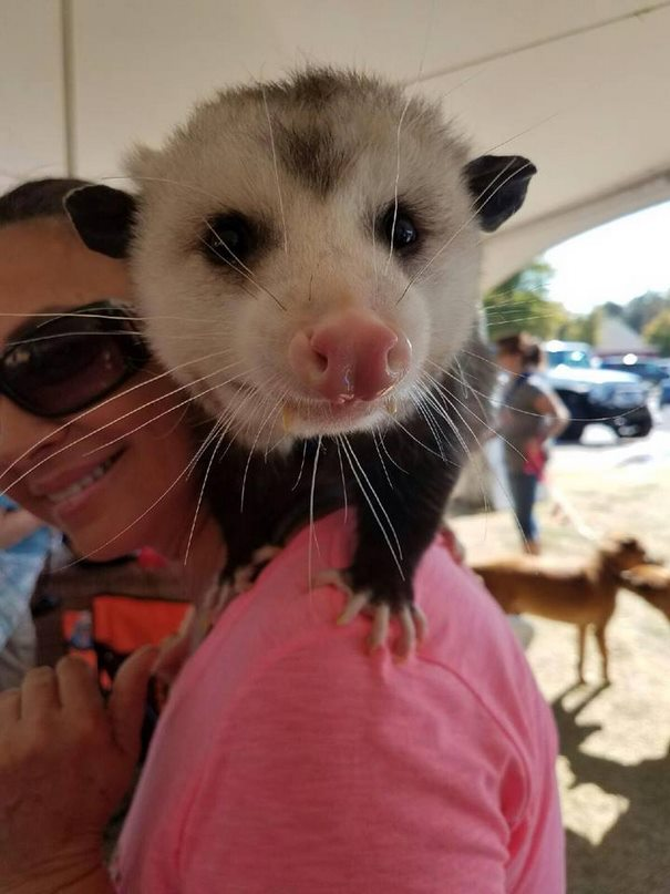 orphaned-opossum-refuses-release-opie-3