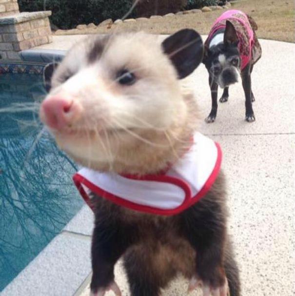 _orphaned-opossum-refuses-release-opie-4