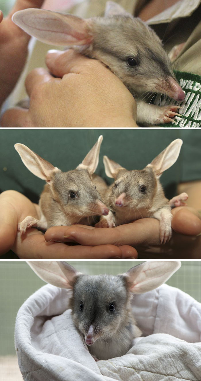 Greater Bilby Baby