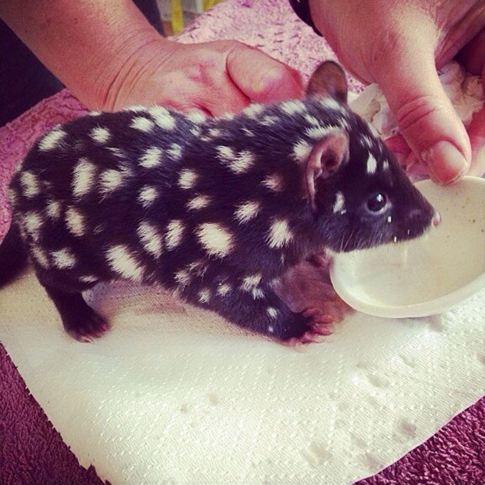 Orphaned Baby Eastern Quoll Being Cared For At Bruny Island