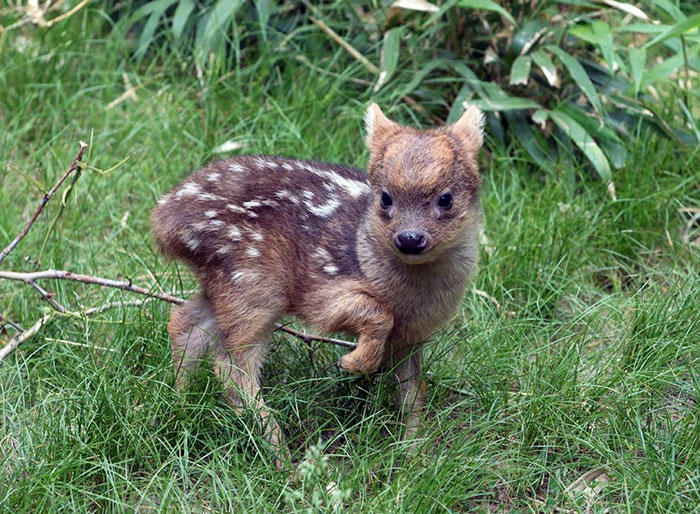 Image of: Northern Hairy 7 Southern Pudu Fawn Bored Panda 40 Rare Animal Babies Youve Probably Never Seen Before Bored Panda