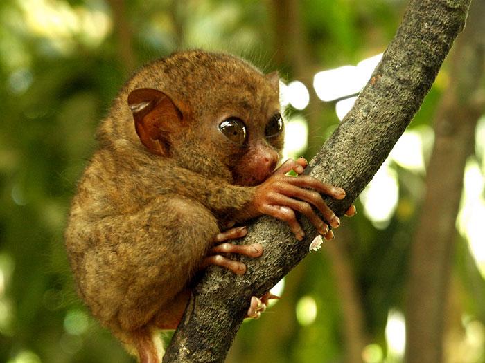 Baby Tarsier