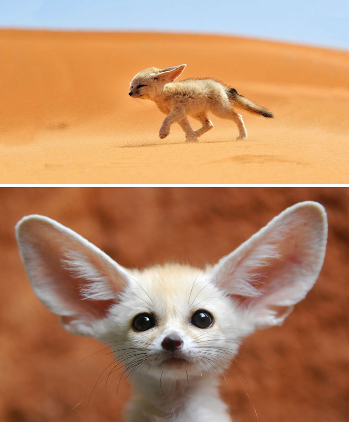 Image of: Cute 2 Baby Fennec Fox Bored Panda 40 Rare Animal Babies Youve Probably Never Seen Before Bored Panda