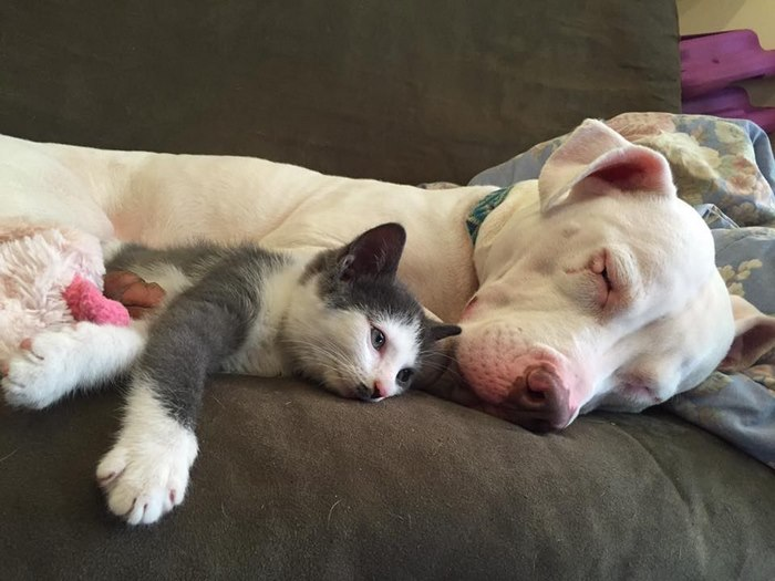 rescue-pit-bull-fosters-kittens-hema-11