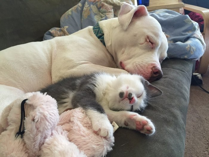 rescue-pit-bull-fosters-kittens-hema-3