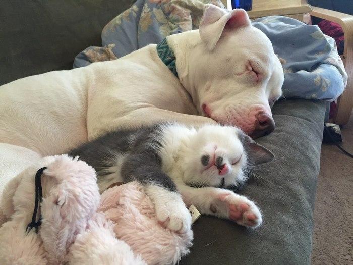 rescue-pit-bull-fosters-kittens-hema-3