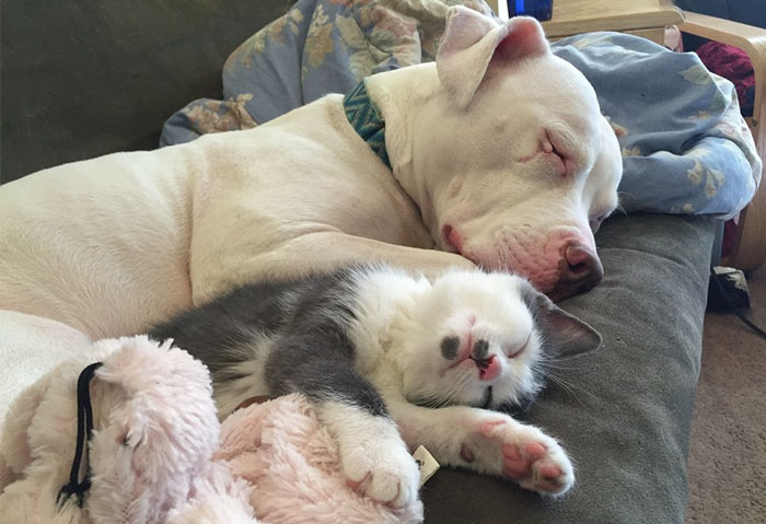 Rescue Pit Bull With Rough Past Becomes Mom To 20 Foster Kittens
