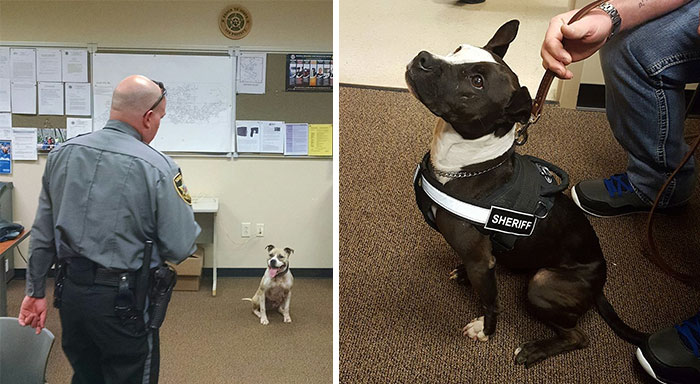 Instead Of Spending $15-$20,000 For Purebred German Shepherds, These Cops Are Getting Rescue Pit Bulls