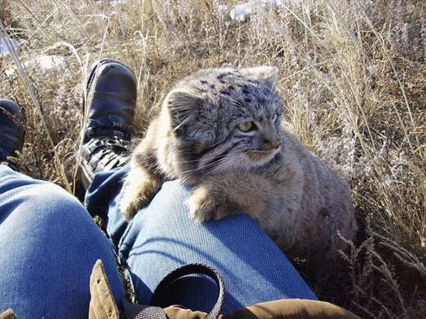 russian-farmer-wild-cat-kittens-manul-1