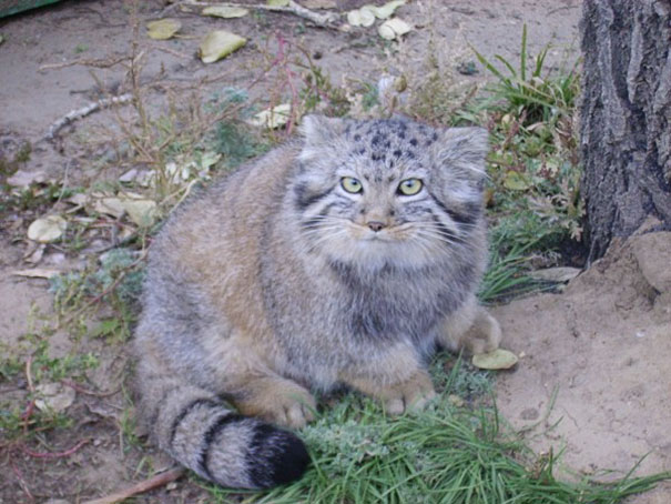 russian-farmer-wild-cat-kittens-manul-2