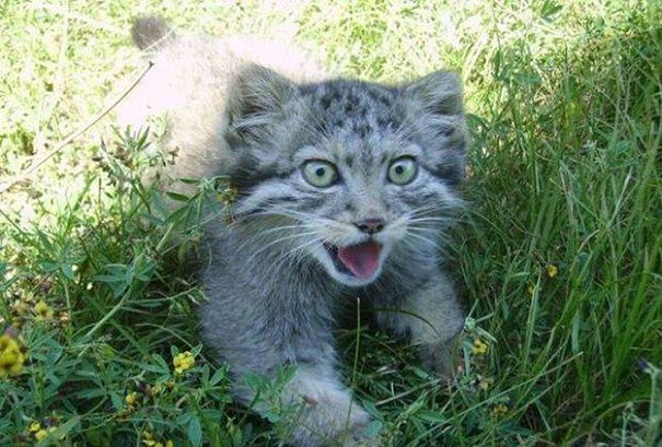russian-farmer-wild-cat-kittens-manul-4