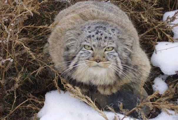 russian-farmer-wild-cat-kittens-manul-5