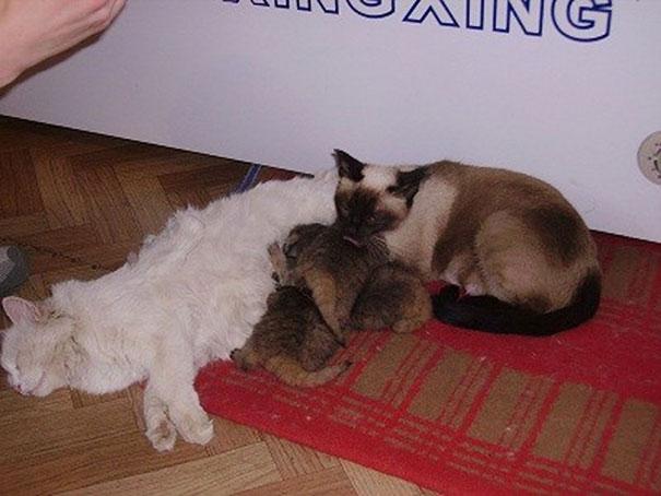 russian farmer wild cat kittens manul 7