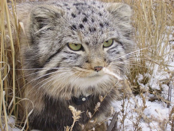 russian-farmer-wild-cat-kittens-manul-8