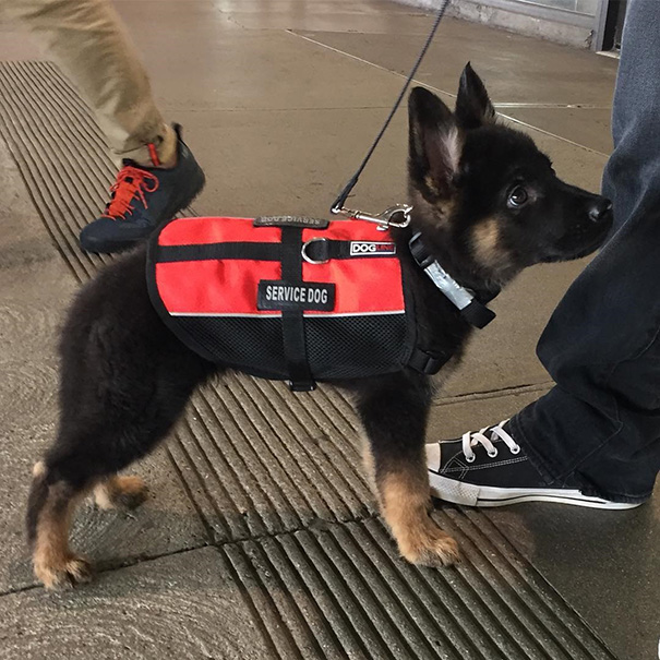 Puppies On Their First Days Of Work That Will Make Your Day - 28 powerful photos of service dogs that show just how loyal they are
