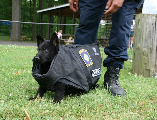 This Is The New Puppy At Training Today. We Don't Think The Bullet Proof Vest Fits... Just Yet