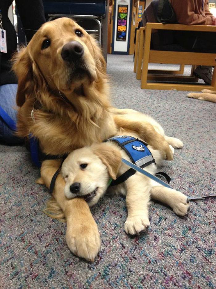 Hasta un perro de terapia necesita ser reconfortado a veces