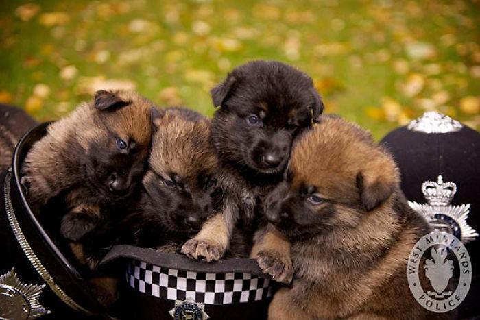 Cachorros de perro policía