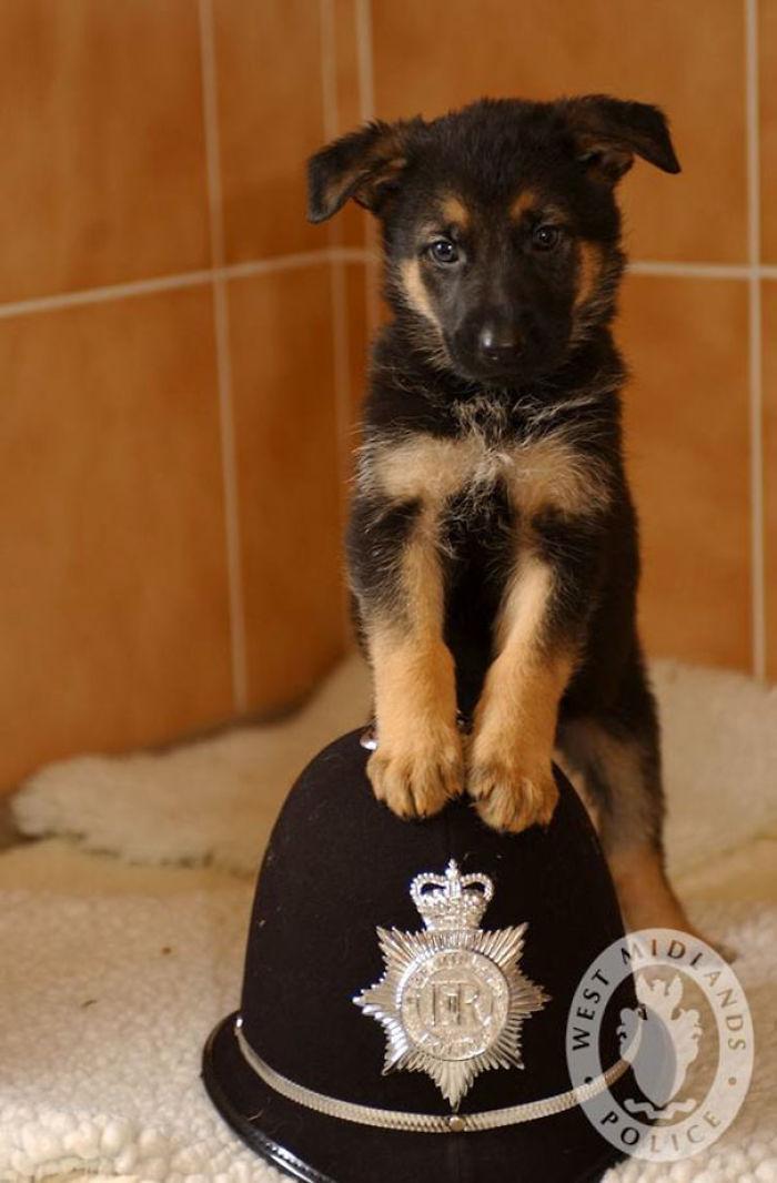 Perro policía de 7 semanas de edad