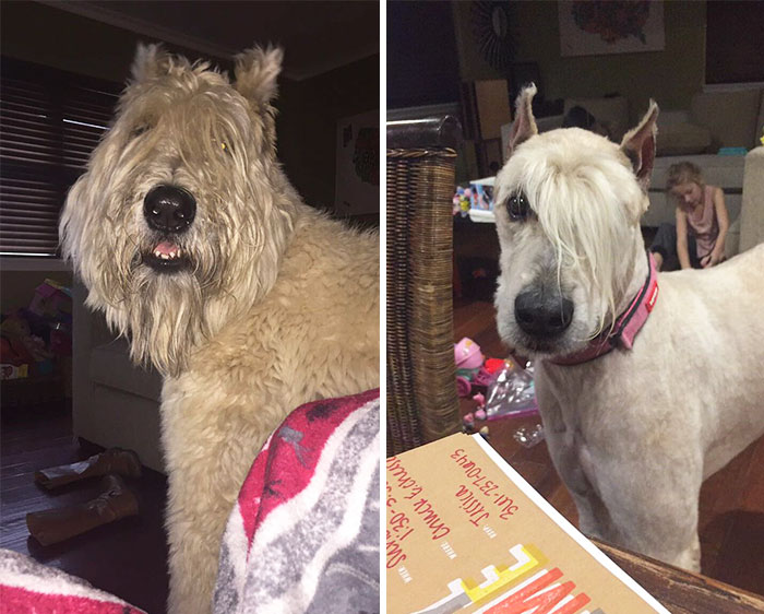 15 Забавни Снимки На Подстригани Кучета Преди И След 12