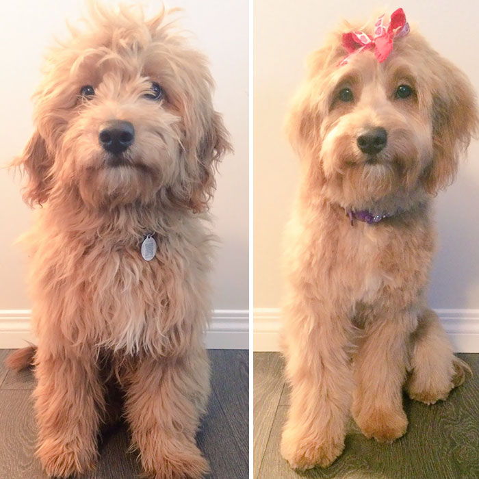 10 Dogs Before And After Their Haircuts Add Yours Bored Panda