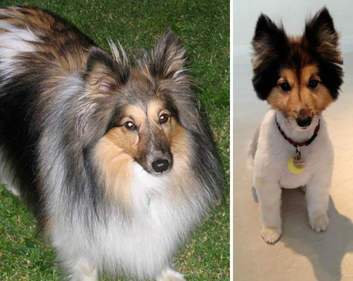 15 Забавни Снимки На Подстригани Кучета Преди И След 22