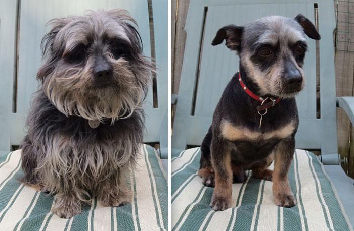15 Забавни Снимки На Подстригани Кучета Преди И След 11