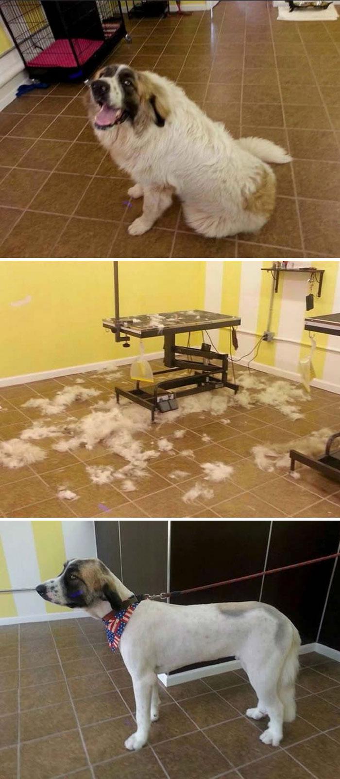 15 Забавни Снимки На Подстригани Кучета Преди И След 19