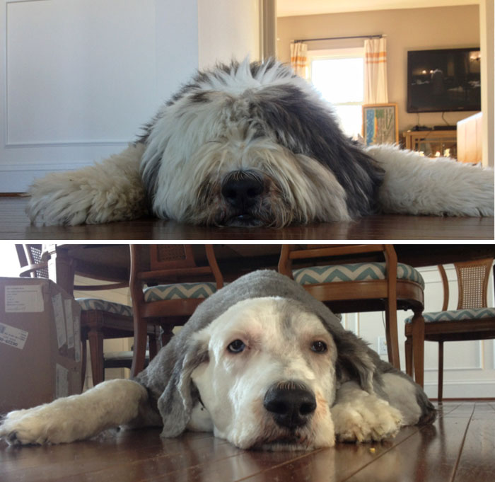 My Old English Sheepdog Before And After His Haircut