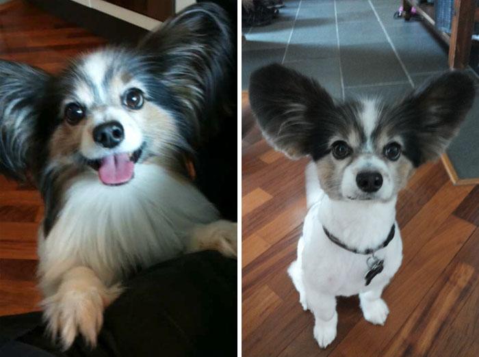 15 Забавни Снимки На Подстригани Кучета Преди И След 14